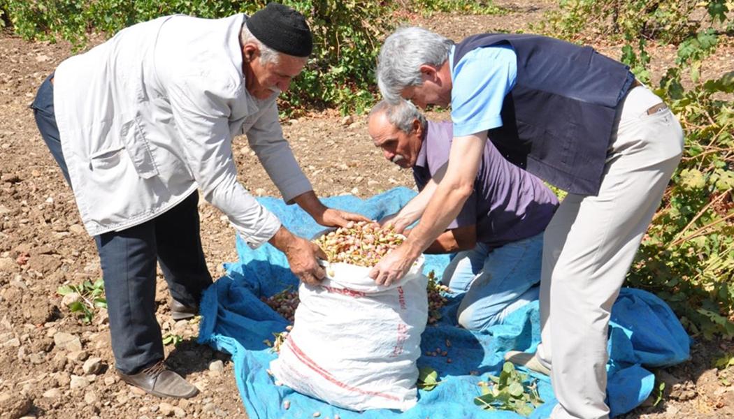 Fıstık Üreticileri Destek Bekliyor